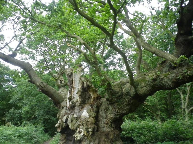 Nation's favourite tree oak
