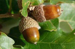 UK Oak